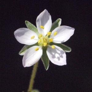 Photographie n°185079 du taxon Spergularia media (L.) C.Presl [1826]