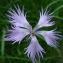 Guy LIBANTE - Dianthus monspessulanus L. [1759]
