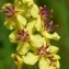 Verbascum nigrum L. [1753] [nn75428] par Ariane Cosiaux le 18/07/2013 - Saint-Laurent-de-Muret