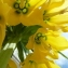 Fritillaria imperialis L. [1753] [nn75787] par Jeanne Muller le 05/04/2013 - Le Raincy