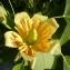 Jeanne MULLER - Liriodendron tulipifera L.