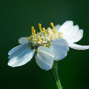 Ptarmica integrifolia Gilib. (Achillée ptarmique)