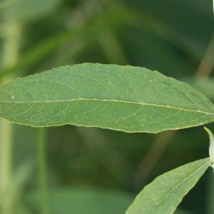 Photographie n°185175 du taxon Buddleja davidii Franch. [1887]