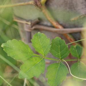Photographie n°185237 du taxon Campsis radicans (L.) Seemen