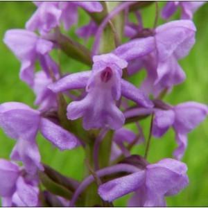 Gymnadenia conopsea (L.) R.Br. (Gymnadénie moucheron)