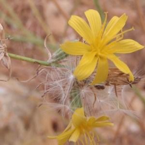 Photographie n°185470 du taxon Chondrilla juncea L. [1753]
