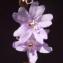 Liliane Roubaudi - Limonium virgatum (Willd.) Fourr. [1869]