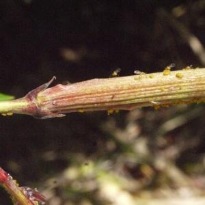 Photographie n°185515 du taxon Nerium oleander L. [1753]