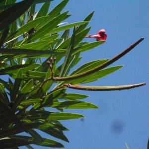 Photographie n°185516 du taxon Nerium oleander L. [1753]
