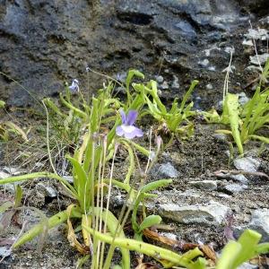 Photographie n°185519 du taxon Pinguicula longifolia Ramond ex DC.