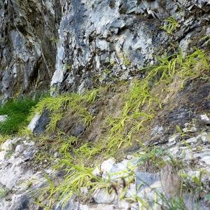 Photographie n°185523 du taxon Pinguicula longifolia Ramond ex DC.
