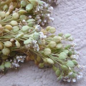 - Lepidium latifolium L.