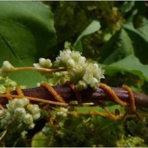 Photographie n°185666 du taxon Cuscuta campestris Yunck.