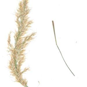 - Achnatherum calamagrostis (L.) P.Beauv. [1812]
