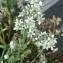 Daniel Le Quere - Allium tuberosum Spreng. [1825]