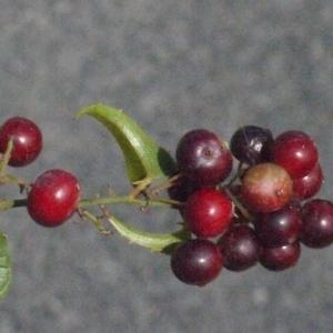 Photographie n°185768 du taxon Smilax aspera L. [1753]