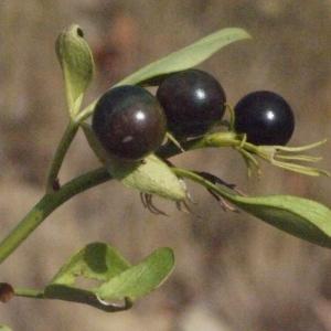 Photographie n°185780 du taxon Jasminum fruticans L. [1753]