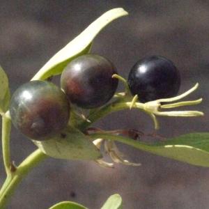 Photographie n°185784 du taxon Jasminum fruticans L. [1753]
