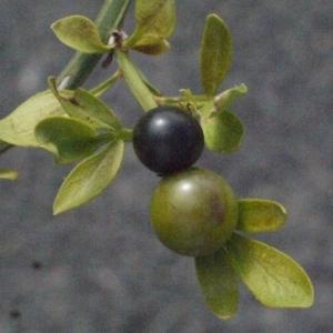 Photographie n°185785 du taxon Jasminum fruticans L. [1753]