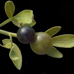- Jasminum fruticans L.