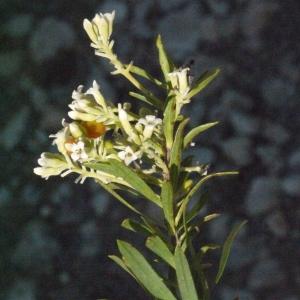 Photographie n°185798 du taxon Daphne gnidium L. [1753]
