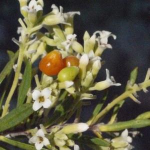 Photographie n°185799 du taxon Daphne gnidium L. [1753]