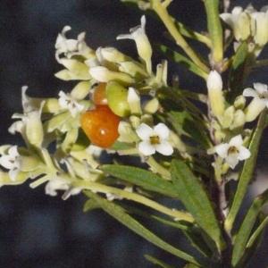 Photographie n°185800 du taxon Daphne gnidium L. [1753]