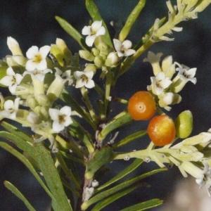 Photographie n°185803 du taxon Daphne gnidium L. [1753]