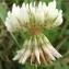 Jean-Claude Echardour - Trifolium repens L. [1753]