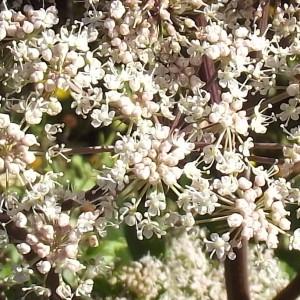 Photographie n°185831 du taxon Angelica sylvestris L. [1753]