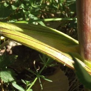 Photographie n°185832 du taxon Angelica sylvestris L. [1753]