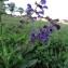 Margaux HUSSON - Salvia nemorosa L. [1762]