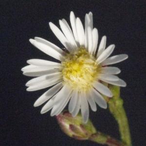 Symphyotrichum subulatum (Michx.) G.L.Nesom var. subulatum