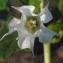 Liliane Roubaudi - Datura stramonium L.