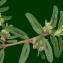 Liliane Roubaudi - Euphorbia maculata L. [1753]