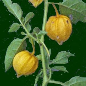 Photographie n°185945 du taxon Physalis viscosa L. [1753]