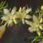 Liliane Roubaudi - Asparagus acutifolius L. [1753]