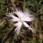 Florent Beck - Dianthus hyssopifolius subsp. hyssopifolius
