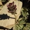 Florent Beck - Prunella hastifolia Brot. [1804]