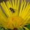 Inula helenium L. [1753] [nn75190] par Gisèle Arliguie le 24/07/2012 - Royat