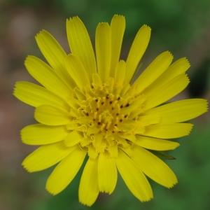 Tragopogon pratensis L. (Salsifis des prés)