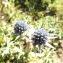 Florent Beck - Eryngium bourgatii Gouan
