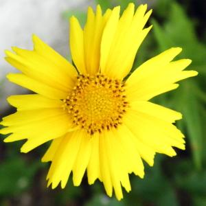 Coreopsis grandiflora Hogg ex Sweet (Coréopsis à grandes fleurs)