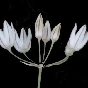 Allium moschatum L. (Ail musqué)