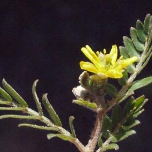 Photographie n°186385 du taxon Tribulus terrestris L. [1753]