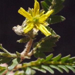 Photographie n°186387 du taxon Tribulus terrestris L. [1753]