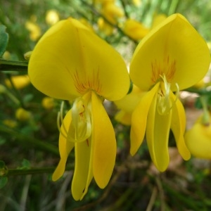 Cytisus scoparius (L.) Link (Genêt à balais)