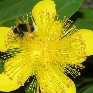 Ascyrum coriaceum Moench (Millepertuis à calice persistant)