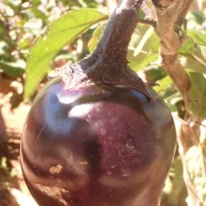 - Solanum melongena L. [1753]
