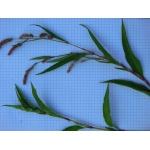 Persicaria lapathifolia subsp. brittingeri (Opiz) Soják (Renouée du Danube)